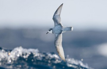 Some species of seabirds, including blue petrels, are particularly vulnerable to eating plastic debris at sea.