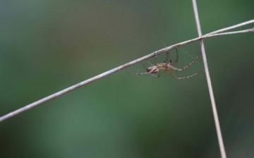 A team of Chinese and American scientists delved further on the muscle-like properties of spider silk.