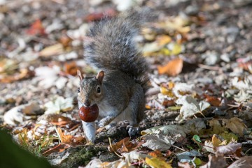 A squirrel picks up a conker beneath trees.