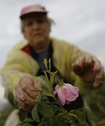 An old woman picks a rose from a farm in Bulgaria.