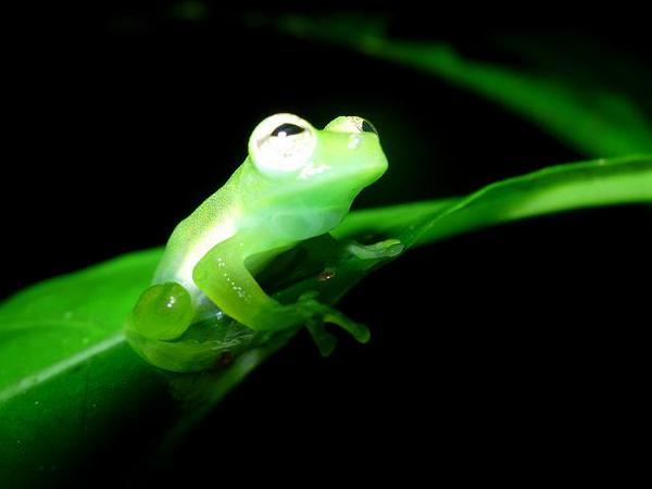 The Real Kermit Costa Rica Scientists Discover New Glass Fr - Real life kermit the frog discovered in costa rica