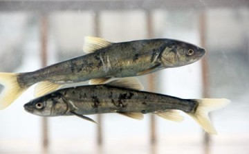The naked carp thrives on Qinghai Lake's saline water.