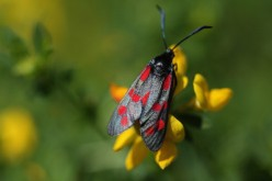 A Six-spot Burnet moth sits on flowers in Ladywell Park on July 22, 2014 in London, England.