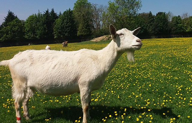 A goat at Buttercups Sanctuary for Goats in Kent, UK.