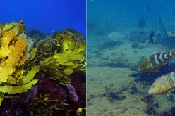 Before and after the 2011 heatwave which saw the virtual extinction of some of Western Australia's vast temperate kelp forest ecosystems. Grazing tropical and sub-tropical fishes which use their teeth to scrape the reef substrate leave little chance for n