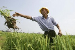 A Chinese farmer works at a hybrid rice field on June 20, 2006, in Changsha City, Hunan Province of China.