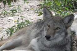 Gray wolf coyote hybrid