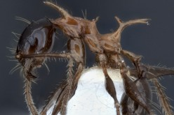 Side view of new ant species: Pheidole drogon.
