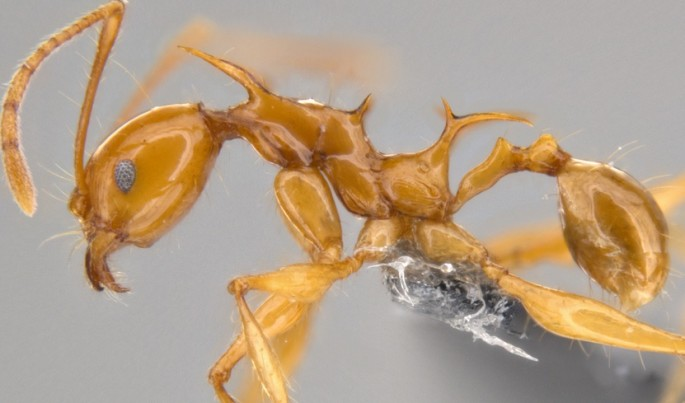 Pheidole viserion, a newly discovered ant species from Papua New Guinea, imaged with traditional photographic techniques.