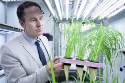U of T Scarborough Professor Herbert Kronzucker has helped identify superstar varieties of rice that can reduce fertilizer loss and cut down on environmental pollution in the process.