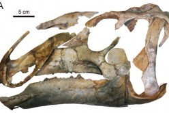 A hadrosaur skull similar to the one found by Chinese scientists in Inner Mongolia.