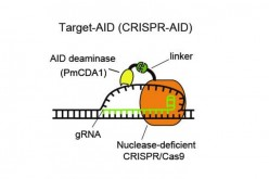 Deaminase is attached by a linker to nuclease-deficient CRISPR/Cas9. Guide RNA recognizes the DNA sequence of target genome and the deaminase modifies the base of the unwound DNA.