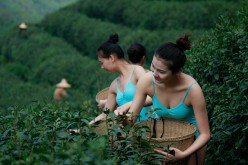 Girls pick tea in a tea garden during the shooting of a television show in Hangzhou, Zhejiang Province of China on April 17, 2016.