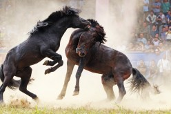 Two horses fight each other at a competition in Liuzhou, Southwest China's Guangxi Zhuang autonomous region, on Oct. 1, 2016.