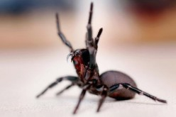 A Funnel Web spider is pictured at the Australian Reptile Park January 23, 2006 in Sydney, Australia.