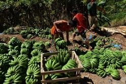 With the strengthened China-Philippines relations, Filipino farmers can earn more by exporting fruits such as bananas, pineapples, mangoes and coconuts.