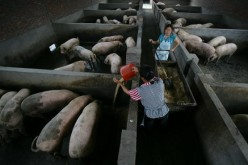Workers feed pigs in a farm on July 10, 2007, in Chongqing Municipality, China.