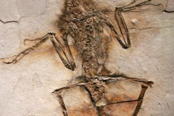 A fossil of a Sinornithos from a 130-million-year-old forest that existed in what is now Liaoning Province, China.