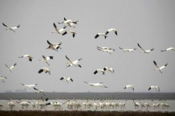 Siberian cranes spend winter at the Poyang Lake National Nature Reserve.