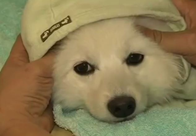 A puppy gets a massage at a doggy spa in China.