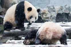 Chinese researchers released a groundbreaking study on adaptive convergence on giant and red pandas.