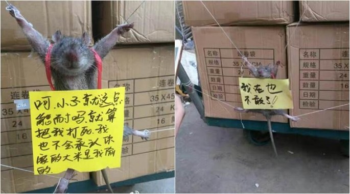 Rat gets punishment for stealing food.