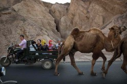 Motorists in one of Chongqing's tollways were bemused to find that a camel was the cause of their traffic woes last Friday, Jan. 20.