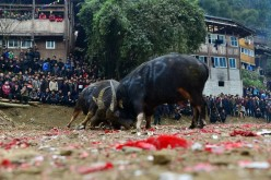 People watch a bull fight during a new year celebration event in Wuliu Miao Village of Jianhe County.