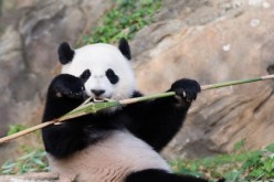 Chinese scientists are helping to increase the number of giant pandas by working toward the reintroduction of giant pandas, which are born in human care, to the wild.