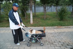 A man pushes a baby stroller carrying his dog.
