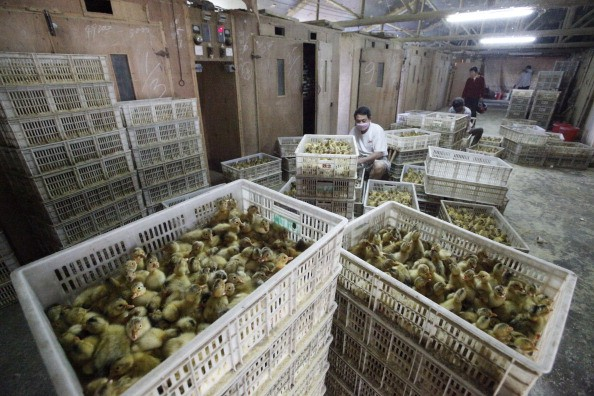 Ducklings waiting to be culled in China.