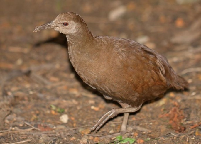 The extinct  Lord Howe Island woodhen Gallirallus sylvestris.