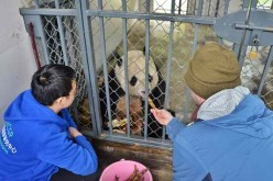 Bao Bao the panda is assimilating well in China.