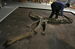 A worker assembles a skeleton fossil of a Tyrannosaurus Rex