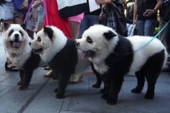 "Rare dog breed? Not quite. They're Chow Chow remarkably groomed to become ""panda dogs,"" a huge demand in China. Some of these dogs attract attention on Orchard Road, Singapore."