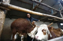 A Chinese dairy farmer tends to his cows.