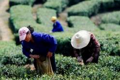 The Tea Drunk harvests tea from mountains in China.