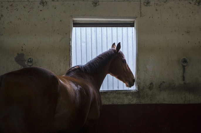A race horse rests in a stable during early morning training at Sha Tin Racecourse in Hong Kong.