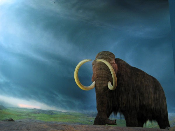 Woolly mammoths survived the extreme cold by genetic mutations that developed thick hair and other mammoth traits and features.