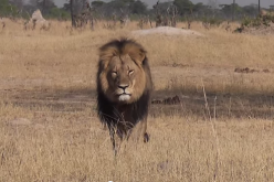 Cecil the lion was killed by American dentist in Zimbabwe, causing outrage worldwide and online petition for justice.