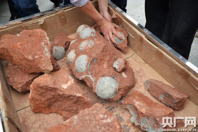 A worker arranges dinosaur egg fossils unearthed in Heyuan, Guangdong Province, on April 19, 2015.
