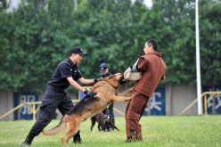 A police dog participates in a training on violence and anti-terror measures of the Chinese police.