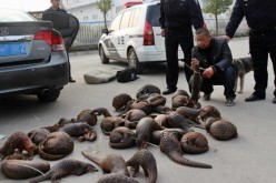 Among the most common illegal meat in China is pangolin meat.
