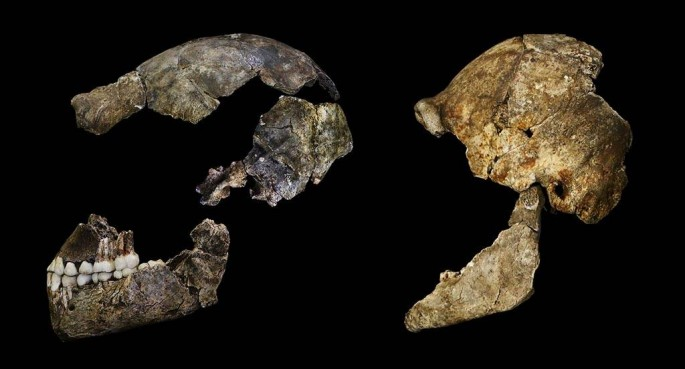 The cranial lateral of the Homo naledi found near the Cradle of Humankind near Johannesburg.