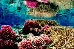 Coral reefs in Hawaii are at risk of bleaching due to rising ocean temperatures to 2 degree Celsius.
