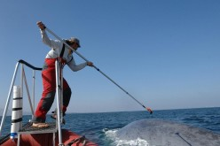 Ari Friedlaender of Oregon State University tags a blue whale. Image collected under NOAA Fisheries permit.
