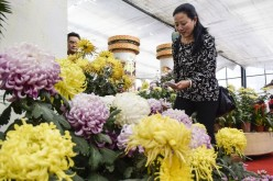 A visitor takes photos of chrysanthemums.