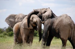 Elephants possess multiple gene copies of p53 that protects them from cancer.