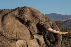 Two African elephants drink water in a reservoir in the Inverdoorn Game Reserve.
