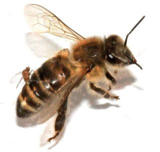 A zombie fly called Apocephalus borealis lays eggs inside a honeybee.